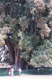 Tule tree near Oaxaca