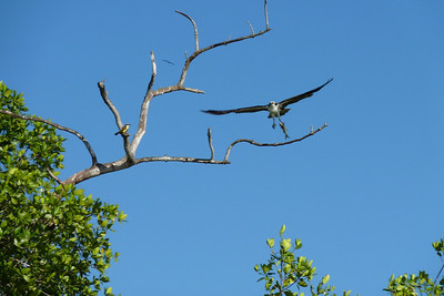 Osprey with a freshly caught fish in his talons.