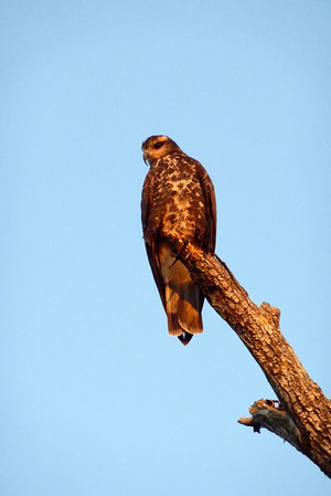 Another Snail Kite. This was the first time I had seen these and I loved it.