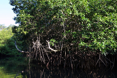 Mangroves. This was a Mangrove swamp we were puttering through.