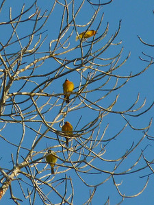 Tons of Orioles. Here we have some Streaked-back Orioles and maybe one other species.