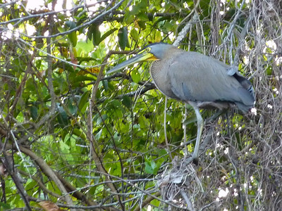 """Bare-throated Tiger Heron. This guy wouldn't stick his neck out for me but you can see the bare yellow skin on his throat. If he stuck his neck out you would be able to see the """"tiger"""" striping on his neck as well."""