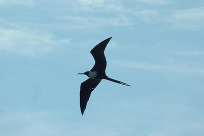 Magnificent Frigate Bird. This bird has a wingspan of about 6 feet. Holly and I call them Magnificent Friggin Birds. They're everywhere along the coast here.