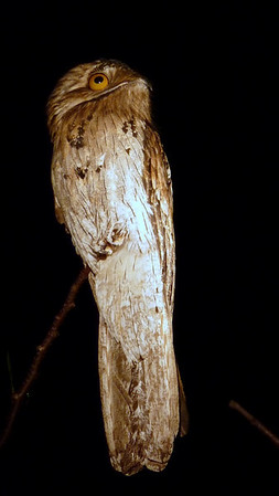 Northern Potoo. (pronounced po (long O) - two). Lifer. Check out that globe of an eye!  This is a nocturnal bird so her sees well in the dark. Chencho had a huge dinner-plate sized flashlight that he used to point out the birds to us after dark.