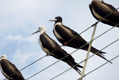 Magnificent Frigate Birds over our heads at the beach restaurant.