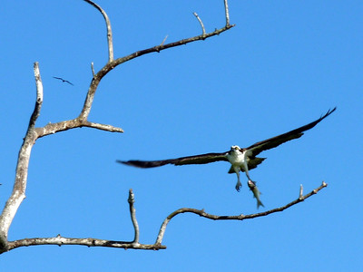 "Osprey with a freshly caught fish in his talons. This is the ""zoomed in"" version."