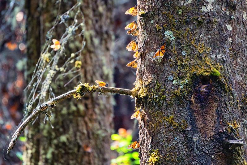 Monarch butterflies Valle de Bravo