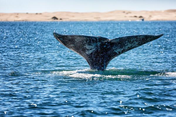 Grey whales Magdelena Bay