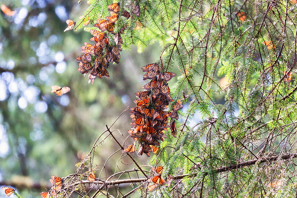 Monarch butterflies Valle de Bravo