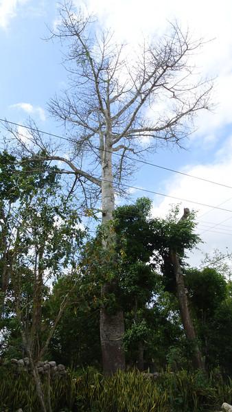 "This Kapok or Ceiba tree is sacred to the Mayans. <a href=""http://www.yucatanadventure.com.mx/Kapok-ceiba-tree.htm"">http://www.yucatanadventure.com.mx/Kapok-ceiba-tree.htm</a>"