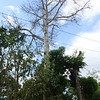 "This Kapok or Ceiba tree is sacred to the Mayans. <a href=""http://www.yucatanadventure.com.mx/Kapok-ceiba-tree.htm"">http://www.yucatanadventure.com.mx/Kapok-ceiba-tree.htm</a>"