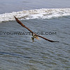 2017-12-01_Cerritos_Sea Hawk with fish_2361.JPG