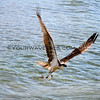 2017-12-01_Cerritos_Sea Hawk with fish_2367.JPG
