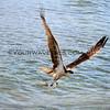 2017-12-01_Cerritos_Sea Hawk with fish_2367.JPG