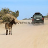 2017-12-06_East Cape_Shipwrecks_Donkey on road_1.JPG<br /> <br /> The donkeys on the East Cape actually stand in the middle of road and flag down cars.  They know cars bring food and we were no exception!