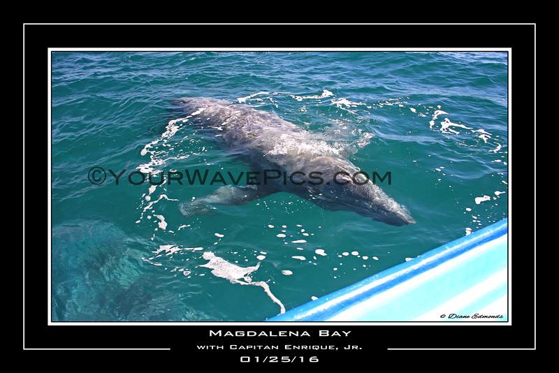 Whale Calf Poster 18x12_93