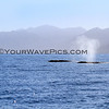 2016-01-25_Magdalena Bay_11_2883_Two grey whales.JPG