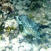 Honeycomb Cowfish.