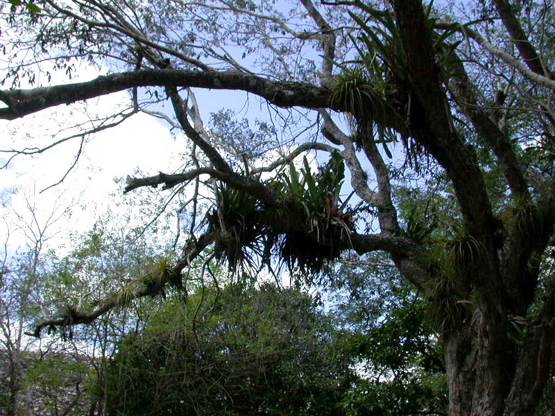 These parasitic growths on the trees are orchids.