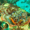 © Joseph Dougherty. All rights reserved.  <font size=5><i> Scorpaena plumieri </i></font>  Bloch, 1789 <font size=5>Spotted Scorpionfish</font> © Joseph Dougherty. All rights reserved.