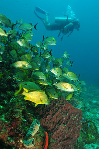 Large schools of grunts and margates are common on the Cancun reefs.  © Joseph W. Dougherty, MD. All rights reserved.