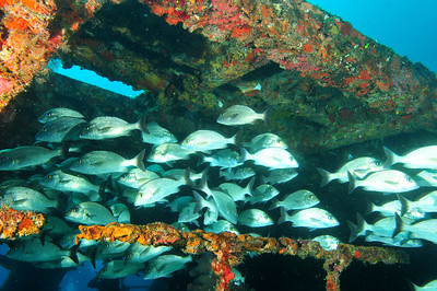 A large school of grunts was confused by our arrival on the wreck, and spent their time passing out of the wreck and then back into it again, unsure of where they wanted to congregate...   © Joseph W. Dougherty, MD. All rights reserved.
