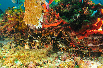 A whole bevy of lobsters all lined up... where's some lemon and butter when you need it?     © Joseph W. Dougherty, MD. All rights reserved.