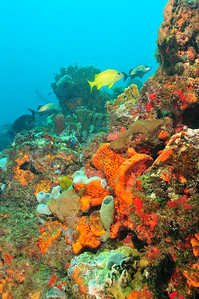 "Cancun reefs are small and the ""wall"" is only a few feet high, but it is densely covered in rich life, especially sponges.     © Joseph W. Dougherty, MD. All rights reserved."