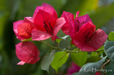 Bougainvillea flourishes at Casa Candiles, Ixtapa, Mexico © Rob Huntley