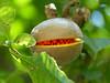 Fruit - Unknown, Palenque, Chiapas, Mexico