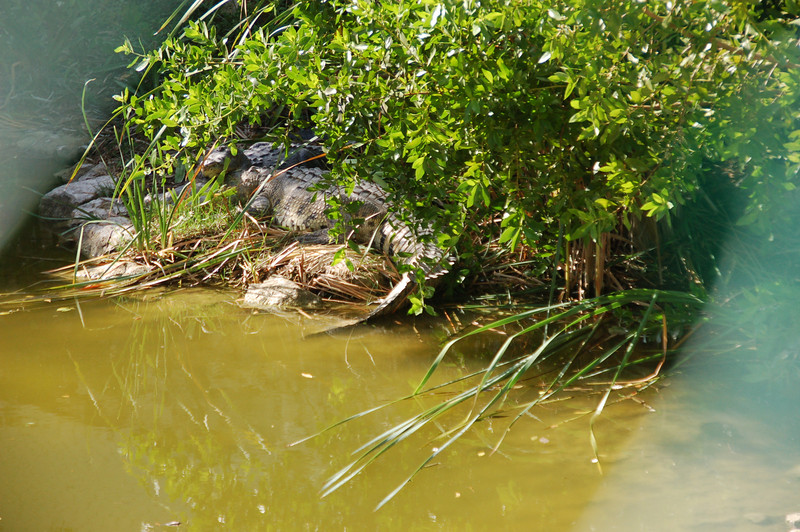 Crocodile  farm in the middle of lush tropical vegetation,  has been set up to preserve the species. More than 20 are sheltered here. The largest measures 8'2''.  He almost looks like a log, but you can see his tail in the water.