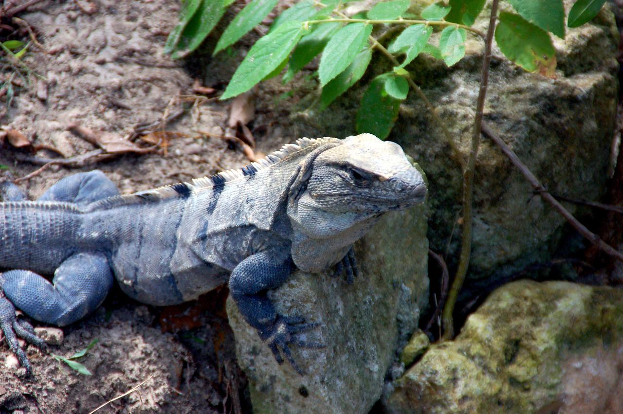 Jose' the Iguana