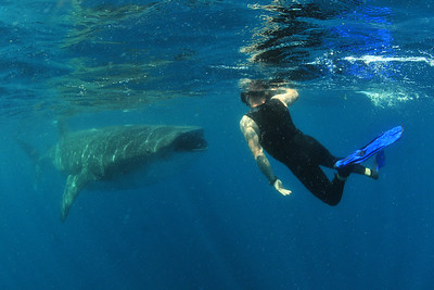 © Joseph Dougherty. All rights reserved.   Rhincodon typus   A. Smith, 1829 Whale Shark  Freediving photographer (Robert Flach) with an oncoming whale shark.