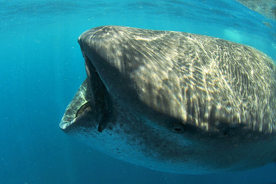 © Joseph Dougherty. All rights reserved.   Rhincodon typus   A. Smith, 1829 Whale Shark  As a filter feeder, it has a capacious mouth which can be up to 1.5 meters (4.9 ft) wide and contains 10 filter pads and between 300 and 350 rows of tiny teeth. It has five large pairs of gills. Two small eyes are located towards the front of the shark's wide, flat head.  Spiracles are just behind the eyes.