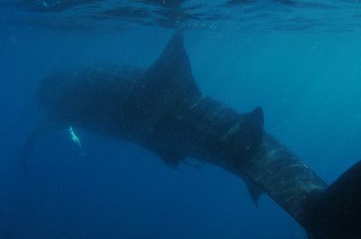 © Joseph Dougherty. All rights reserved.   Rhincodon typus   A. Smith, 1829 Whale Shark