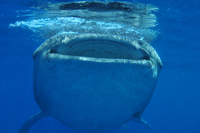 © Joseph Dougherty. All rights reserved.   Rhincodon typus   A. Smith, 1829 Whale Shark  A whale shark swims at the surface, skimming the water for fish eggs and other planktonic food.
