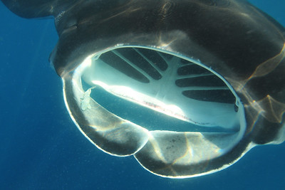 © Joseph Dougherty. All rights reserved.   Manta birostris   Walbaum, 1792 Giant Manta Ray  A giant manta ray swims at the surface, skimming the water for fish eggs and other planktonic food.     A young remora is hitching a ride inside the right cephalic fin.