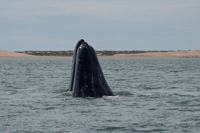 Gray Whale at Adolfo López Mateos, Baja California Sur.