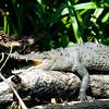 Another gator sunning himself.