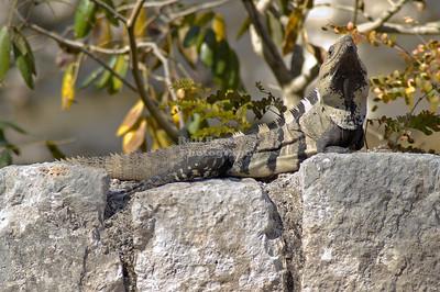 Iguana at Chichén Itzá, Yucatán, Mexico