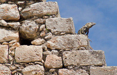 Iguana perched on the Wizard's Pyramid in Uxmal, Yucatan, Mexico