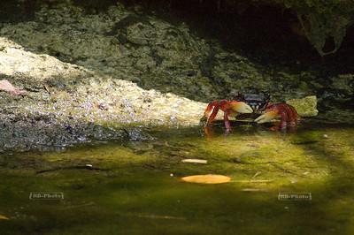 Crab devouring algae Xel-Ha, Yucatan, Mexico