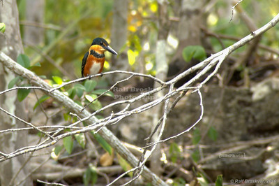 Small kingfisher perched on a twig Xel-Ha, Yucatan, Mexico