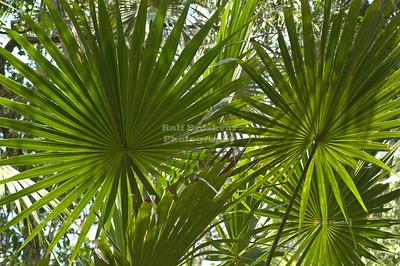 Backlit palm fronds Xel-Ha, Yucatan, Mexico
