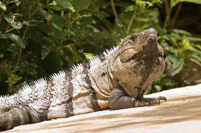 Iguana Xel-Ha, Yucatan, Mexico