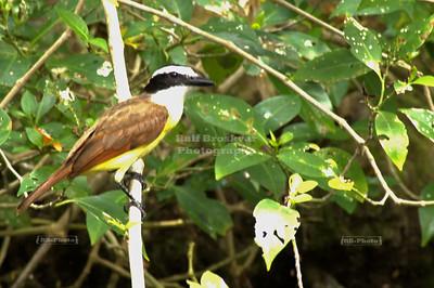 Great Kiskadee, Pitangus sulphuratus, a large tyrant flycatcher Xel-Ha, Yucatan, Mexico