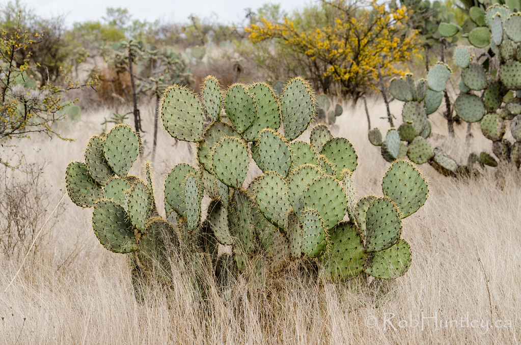 Prickly pear cactus in dry grasslands.