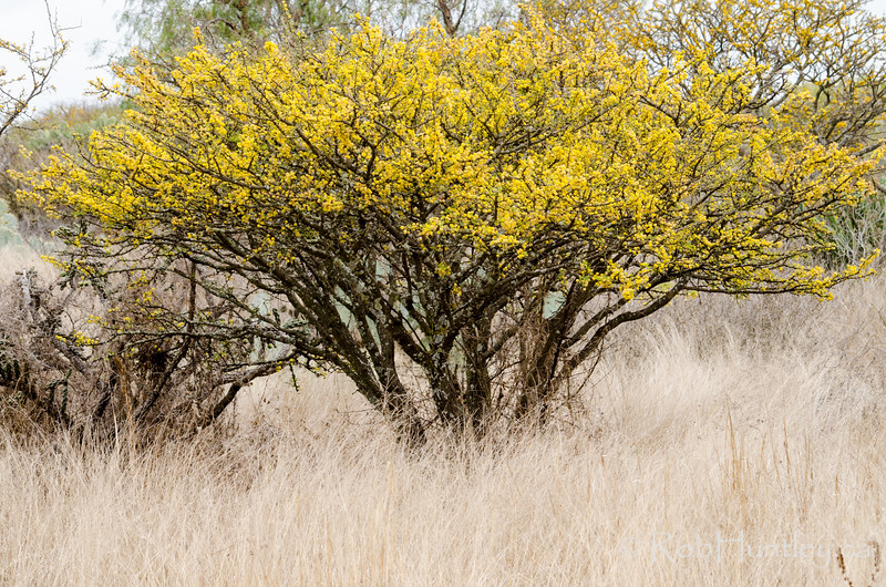 Acacia tree in bloom in the wild.