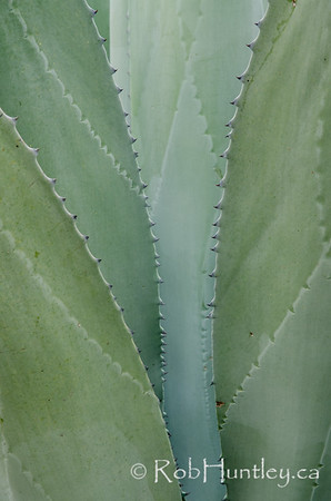 Agave abstract.