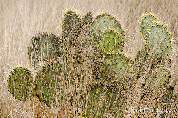 Prickly pear cactus in the grass.